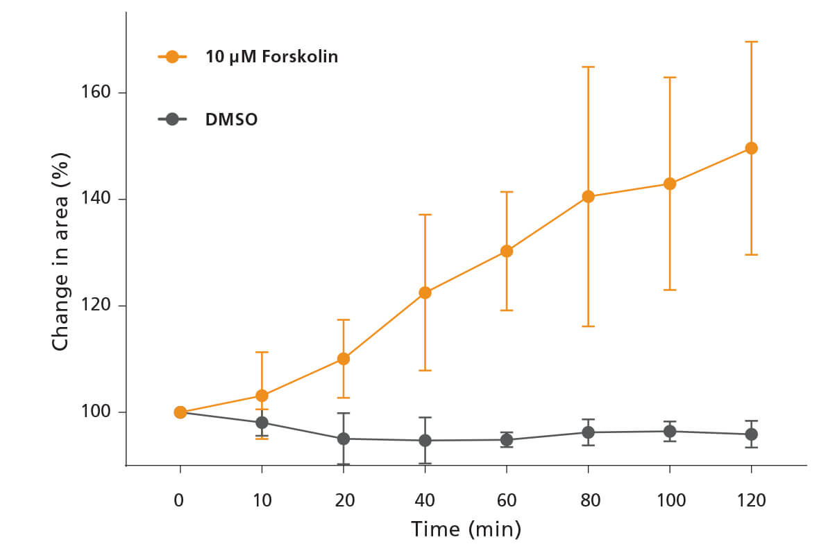 Treating intestinal organoids with forskolin causes them to swell to 150% of their untreated size in 120 minutes.