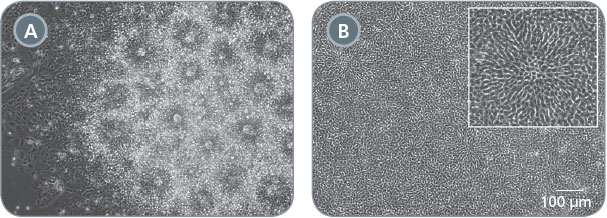 Morphology of Neural Progenitor Cell Cultures Generated Using Embryoid Body and Monolayer Culture Protocols