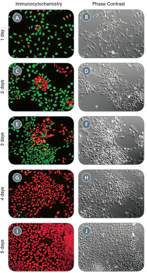 Immunocytochemistry and Phase Contrast Time-Course of Neural Induction of Human iPS Cells Using a Monolayer Culture Protocol