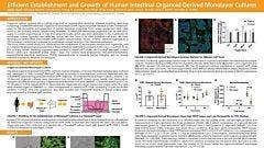 Efficient Establishment and Growth of Human Intestinal Organoid-Derived Monolayers