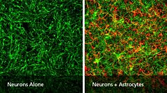 How to Co-Culture Human Pluripotent Stem Cell (hPSC)-Derived Forebrain Neurons and Astrocytes