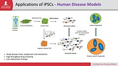 iPSCs As Models, Part 2: Modeling the Human Brain with Organoids