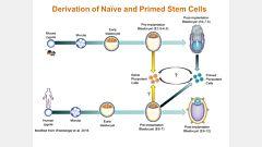 Human Naïve-Like Pluripotent Stem Cell Generation and Maintenance