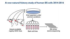 Whole Exome Sequencing Reveals Selective Pressures and Dominant Negative Mutations in hPSC Cultures