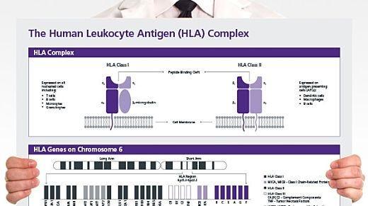 The Human Leukocyte Antigen (HLA) Complex