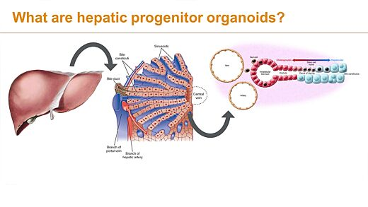 Adding Hepatic Organoids to Your Research