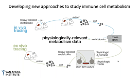 Using Stable Isotope Tracing to Study CD8+ Immune Cell Dynamics In Vivo