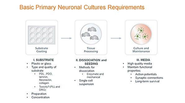 Standardized Primary Neuronal Culture with NeuroCult™ SM