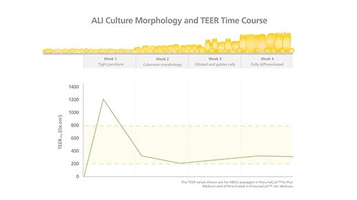 Correlating TEER Values with Air-Liquid Interface Culture Morphology
