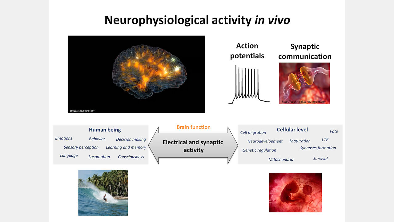 BrainPhys™ Medium Supports the Physiological Activity of Neuronal Tissue in vitro