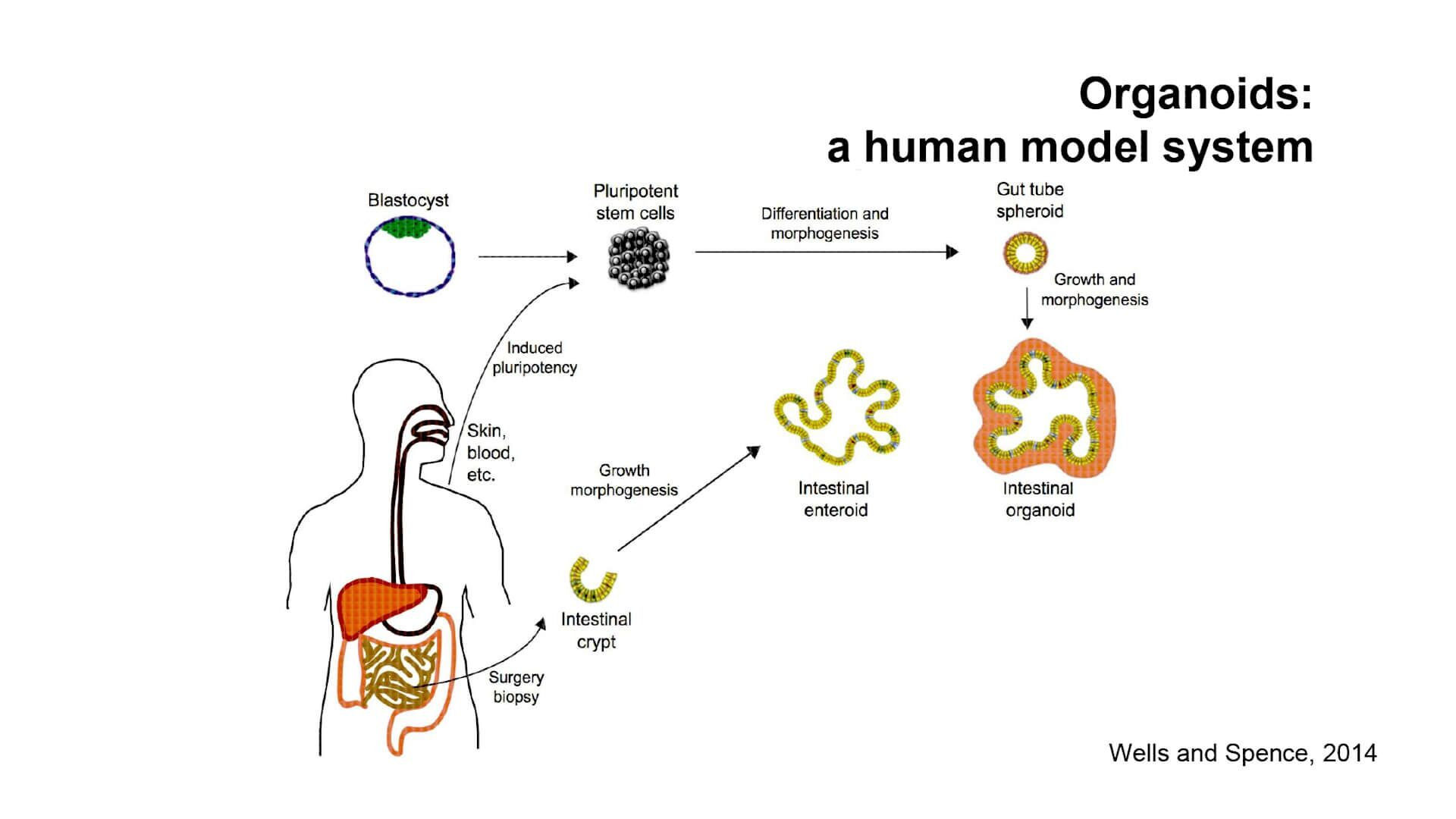 GI Tract Organoids: Using Advanced Tissue Models to Interrogate Absorption and Regulation