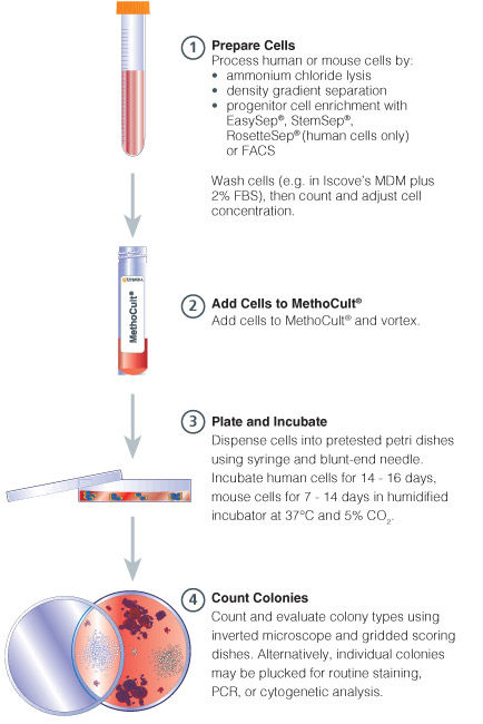 Procedure summary for hematopoietic CFC Assays