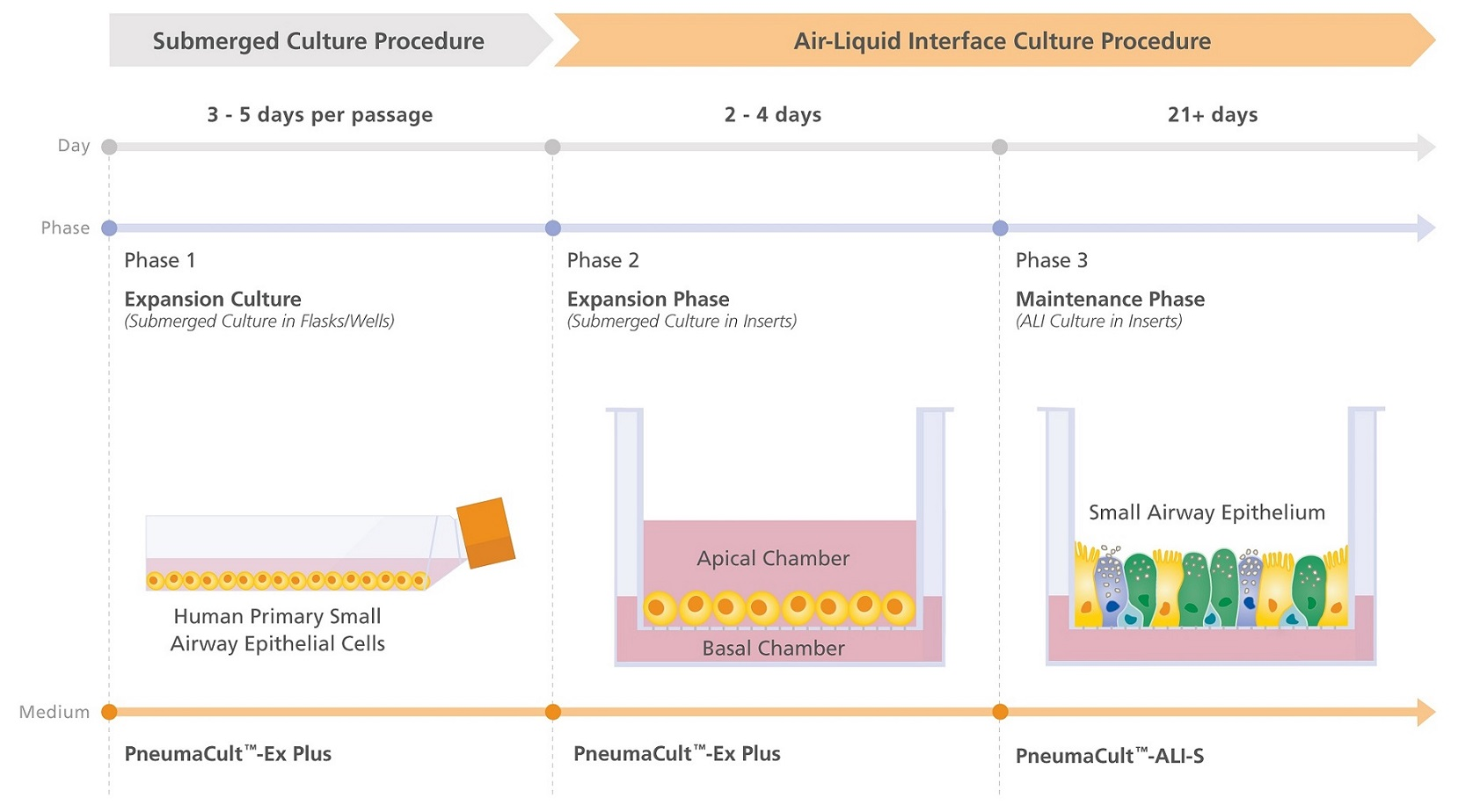 PneumaCult™ Culture System Workflow for Small Airway Research