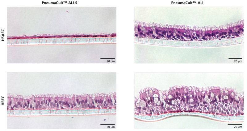 HSAEC cultured in PneumaCult™-ALI-S differentiate to form a thin, cuboidal epithelium representative of the small airway.