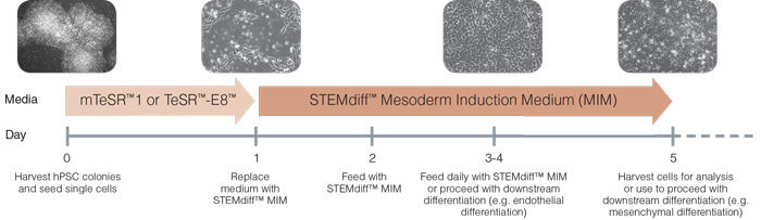 Schematic of Mesoderm Induction Medium Differentiation Timeline