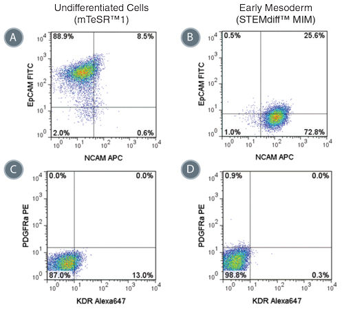 Phenotype of Cells Treated with STEMdiff™ MIM is Consistent with Early Mesoderm