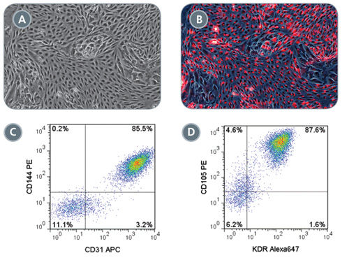 Robust Endothelial Differentiation of STEMdiff™ MIM-Generated Early Mesoderm Cells
