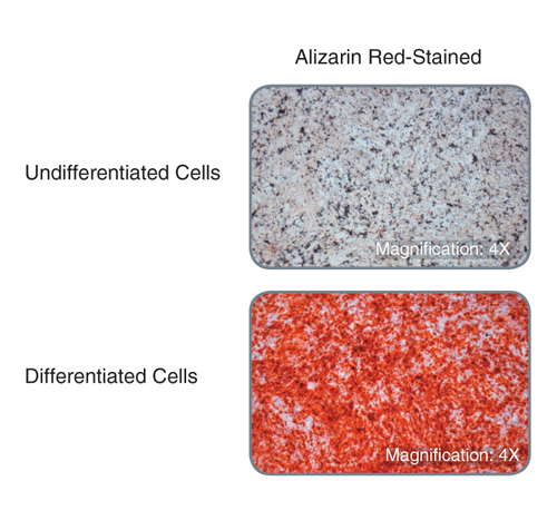 Compact bone-derived MSCs display robust bone matrix deposition following treatment with MesenCult™ Osteogenic Stimulatory Kit (Mouse) as demonstrated by Alizarin Red-staining