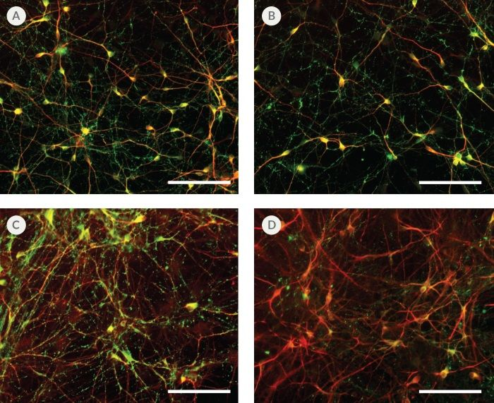 hPSC-Derived Neurons Generated in BrainPhys™ Neuronal Medium Express Markers of Neuronal Maturity After 14 and 44 Days of Differentiation