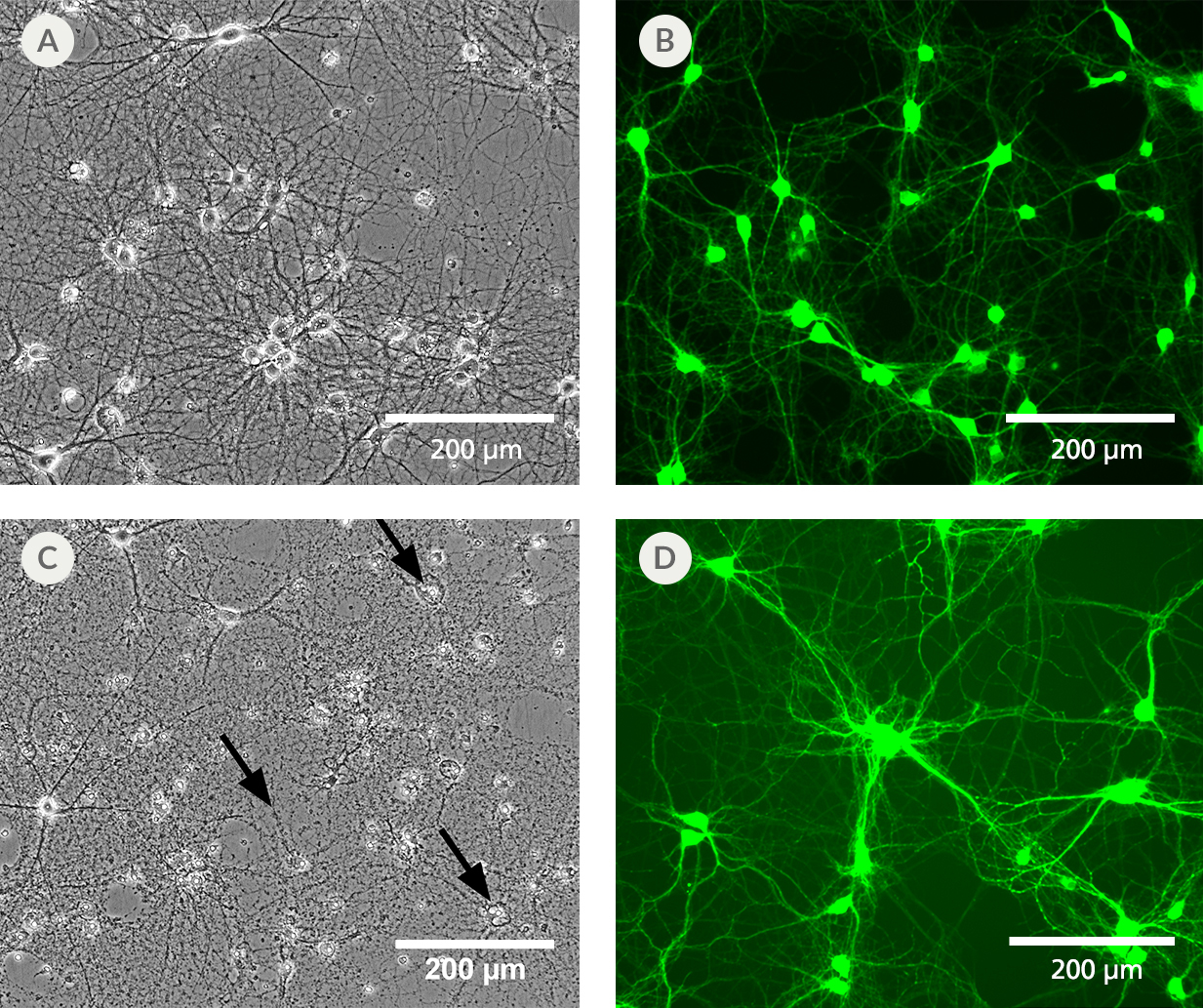 Culturing neurons in BrainPhys™ Imaging Optimized Medium reduces phototoxicity after blue light exposure and autofluorescence at a mean emission of 525 nm