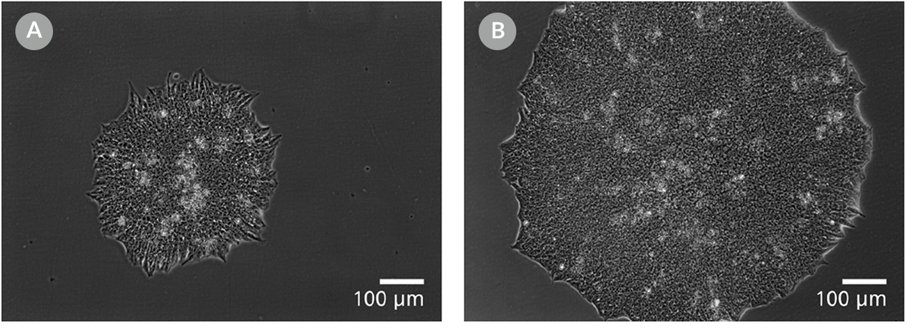 Cell images of human ES colonies plated in mTeSR™1 and mTeSR™ Plus and supplemented with CloneR™ on CellAdhere™ Vitronectin™ XF™-coated plates.