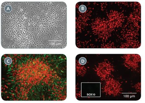 Morphology and Marker Expression of Neural Progenitor Cells Cultured in STEMdiff™ Neural Progenitor Medium