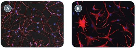 Neural Progenitor Cells Maintained in STEMdiff™ Neural Progenitor Medium can Differentiate into Neurons and Astrocytes