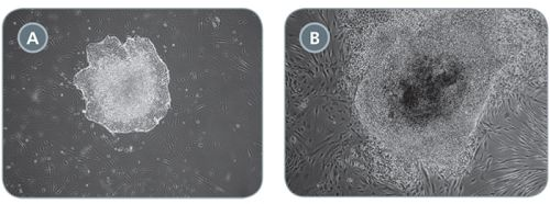 Comparison of Primary iPS Cell Colonies Derived Using TeSR™-E7™ with Qualified vs Unqualified bFGF