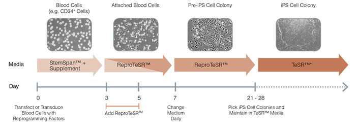 Schematic of ReproTeSR™ Reprogramming Timeline