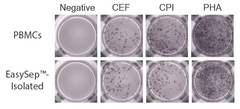 PBMCs pre- and post-EasySep™ isolation were incubated in peptide pools (CEF, CPI, or PHA) and a robust population of IFN-gamma-producing cells in these respective samples are visible on ELISpot plates, showing that EasySep™-isolated CD45+ cells produce IFN-gamma in response to antigen and mitogen stimulation.