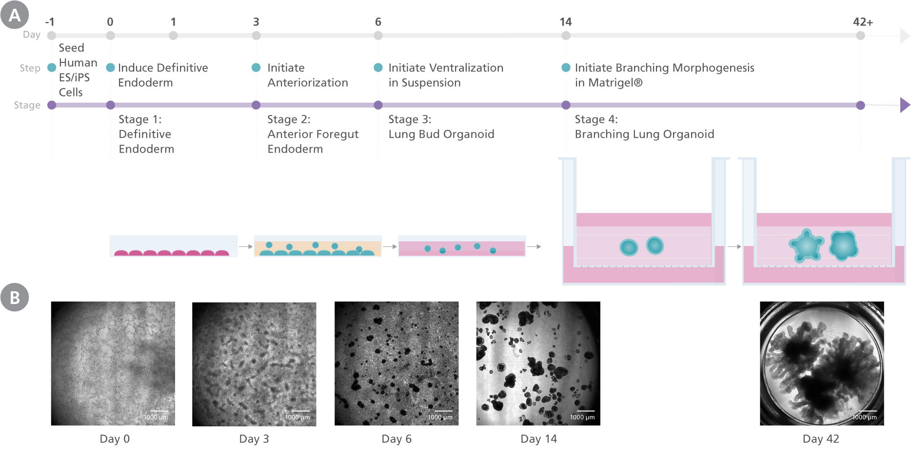 Schematic showing the different stages in the STEMdiff™ Branching Lung Organoid Kit protocol and the representative morpholgy at each stage.