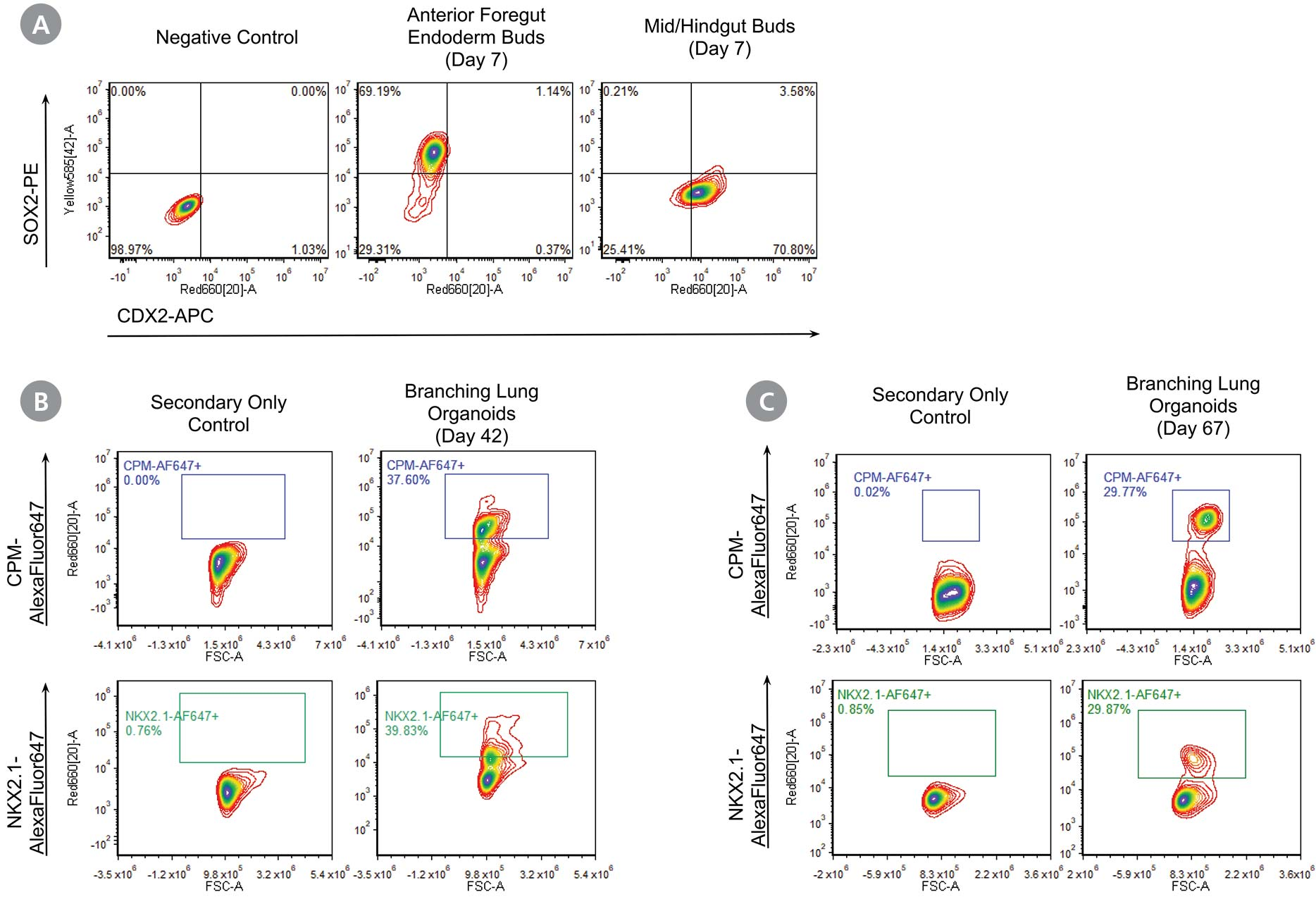 Flow cytometry data at the end of stage 2 demonstrating expression of SOX2 and absence of CDX2 in AFE buds and brnaching lung organoids cultured beyond stage 4 demonstrating the expression of CPM and NKX2.1.