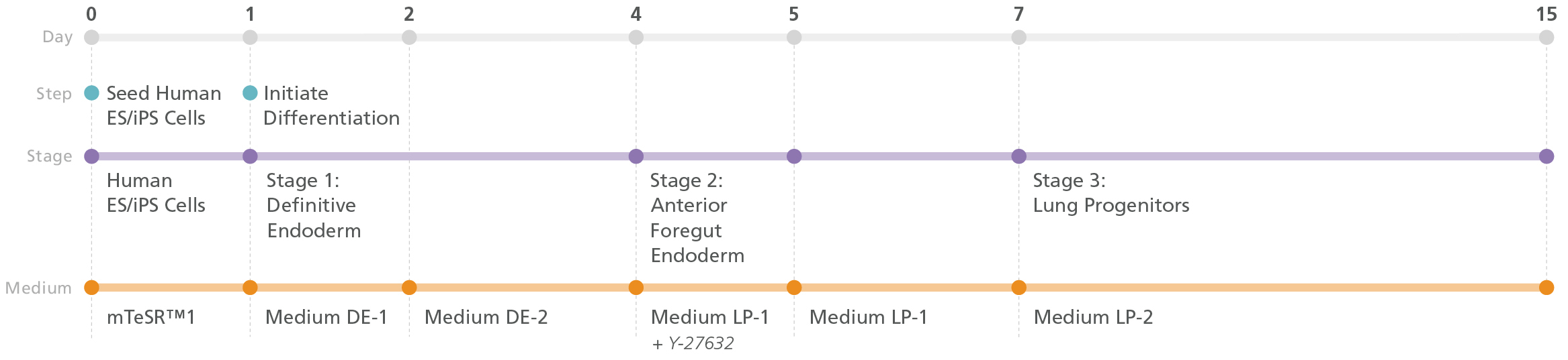 Illustration showing the protocol, media, and three stages (definitive endoderm, anterior foregut endoderm, and lung progenitors) invoved in the differentiation of human PSCs into lung progenitor cells using the STEMdiff™ Lung Progenitor Kit.