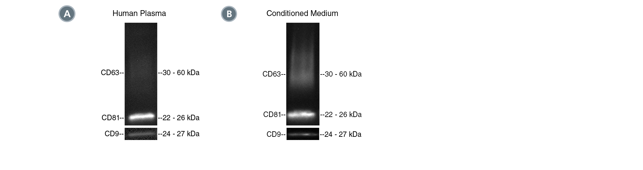 Positive isolation of EVs with the CD81 tetraspanin marker from human plasma and MSC-conditioned medium.