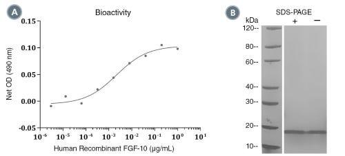 Human Recombinant FGF-10 (KGF-2)