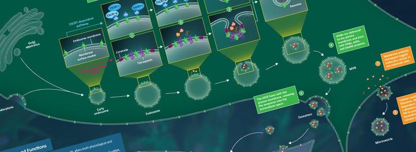 Mesenchymal stem cell exosome biogenesis and cargo.