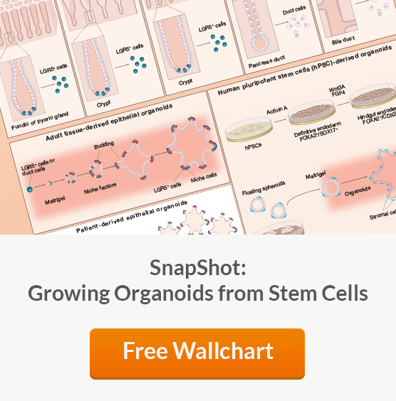 Get a free copy of the Growing Organoids from Stem Cells wallchart