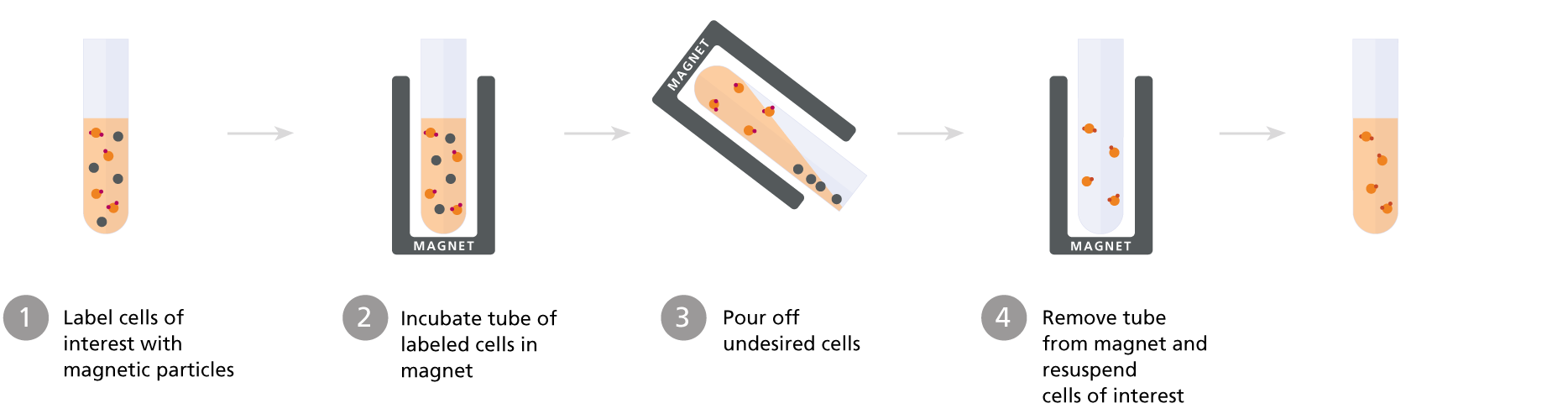 Column-free magnetic cell isolation: positive selection protocol